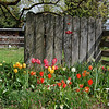 David's Tulips