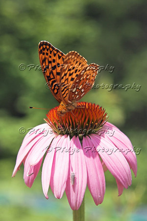 A Great Spangled Fritillary sits on a coneflower