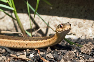 Working in the garden today, I came across this garter snake and decided to make him my subject of the day!!