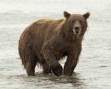Bear Facing Me