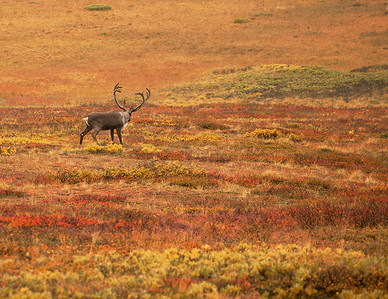 Caribou in the Color