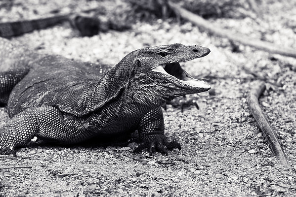 Monitor lizard Pulau Tiga Sabah, Borneo