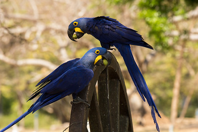 Hyacinth Macaw Pantanal