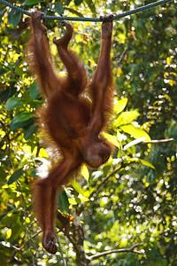 Orangutan Semenggoh Wildlife Centre Sarawak, Borneo