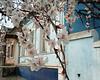 Ukraine Cherry Blossoms