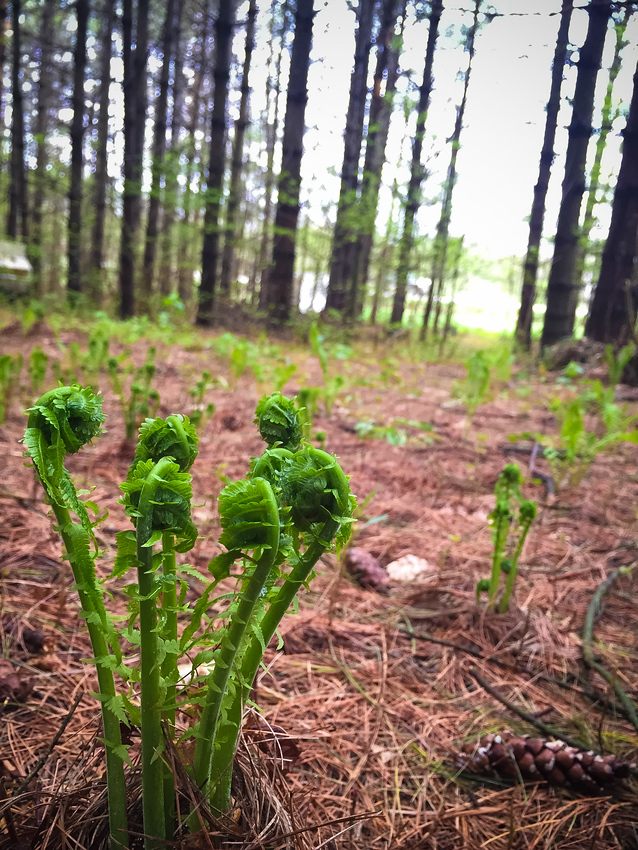 Young fiddlehead ferns in the spring are edible, check out this great fiddleheads recipe for beer battered fiddleheads.