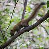 Praktekorn / Beautiful Squirrel<br /> Kaeng Krachan, Thailand 31.1.2018<br /> Canon 7D Mark II + Tamron 150 - 600 mm 5,0 - 6,3 G2 @ 300 mm