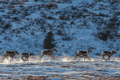 Barren Ground Caribou on the open snow covered tundra of Northern Canada. Caribou are supremely adapted to the cold of the North.