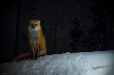 Fox at the Condo