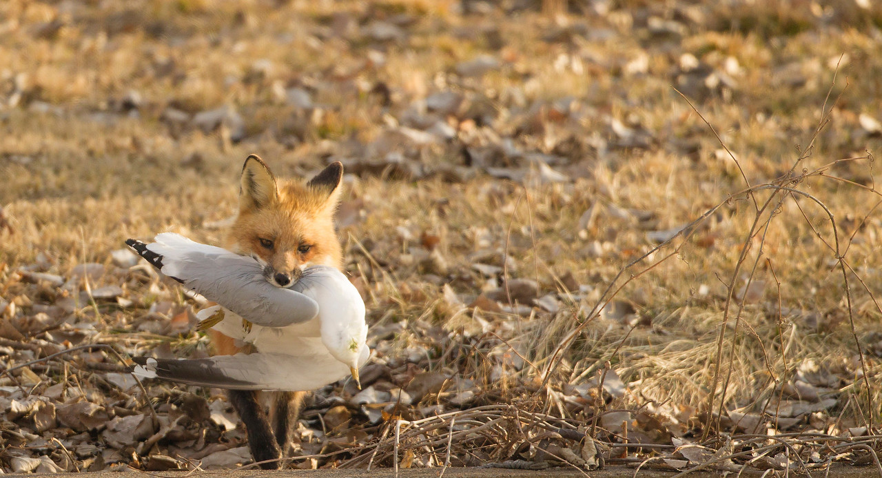Red Fox with Ring-billed Gull dinner