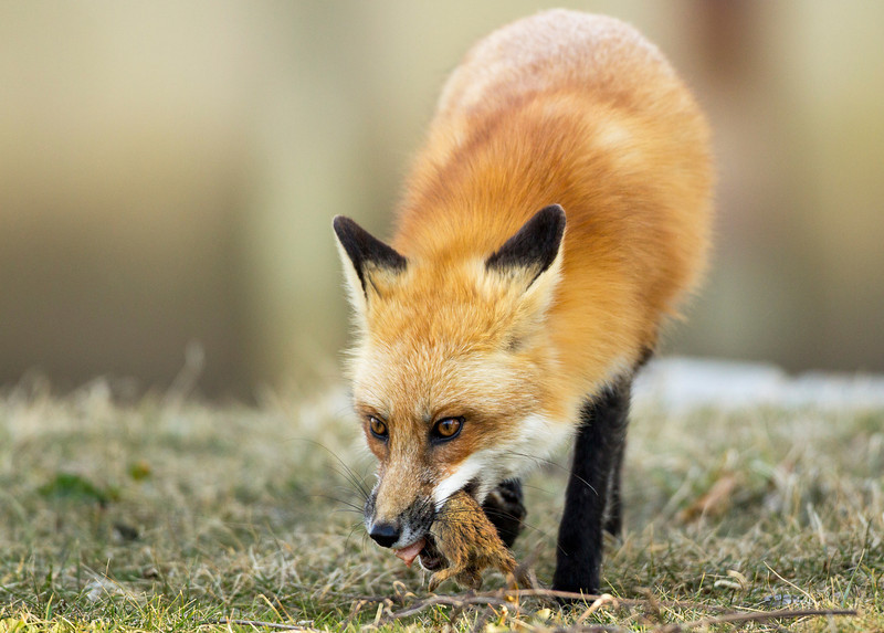 Red Fox with Squirrel dinner