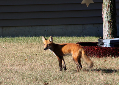 Foxes living in my back yard