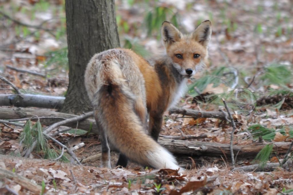 Momma fox hearing the clicking of my camera.