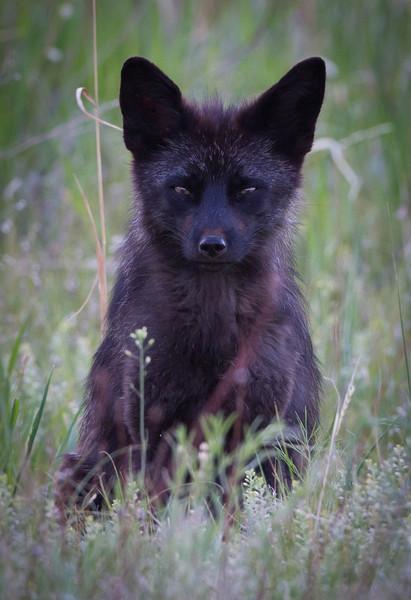 Red Fox Dark Morph