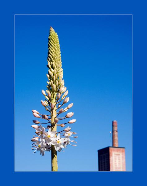 Foxtail Lily<br /> Konica Minolta Dimage A2