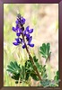 "California Lupin - Lupinus albifrons <a href=""http://lenslord.com/2012/02/21/california-lupin-lupinus-albifrons/"">Link to the article on my blog.</a> <a href=""http://www.thelenslord.com/Professional/Flowers/8757559_VX7JzW#!i=1720453741&amp;k=vCsW8Lb"">Link to buy this image.</a>"