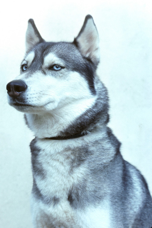 This is a 1976 photo of Misty, our pure bred female Siberian Husky.  She was quite the pistol.  Two blue eyes, coupled with a regal demeanor.  She knew she was a princess, and we were all just servants in her court.  35 pounds of all muscle, she could tear you shoulder out of its limb if you were walking her in the snow.  I can remember only too well chasing her for hours when she got free.<br /> <br /> Shot with a manual meter, manual focus Ricoh SLR with a 50mm f2.0 lens.<br /> Copyright 2006 by John M. Cerra