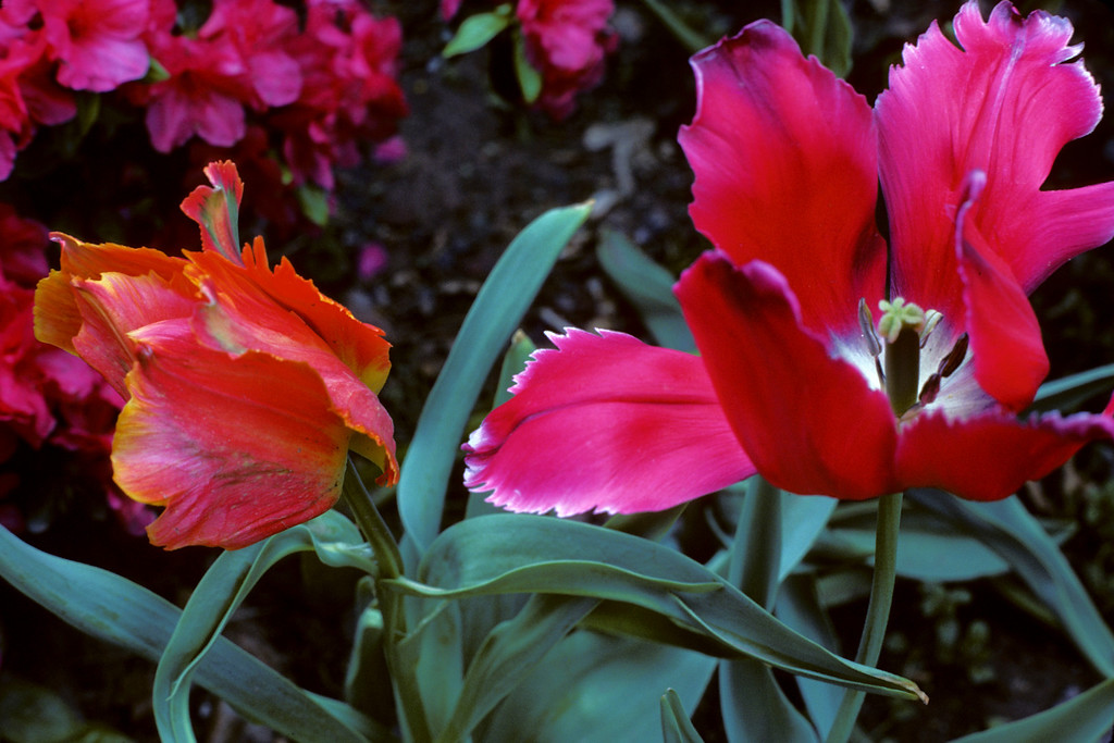 These are more of the tulips that my parents got in Holland when we lived there.  May 1976, in Roselle NJ.  Shot with a Ricoh manual SLR, 50mm f2.0.<br /> <br /> Copyright 2006 by John M. Cerra