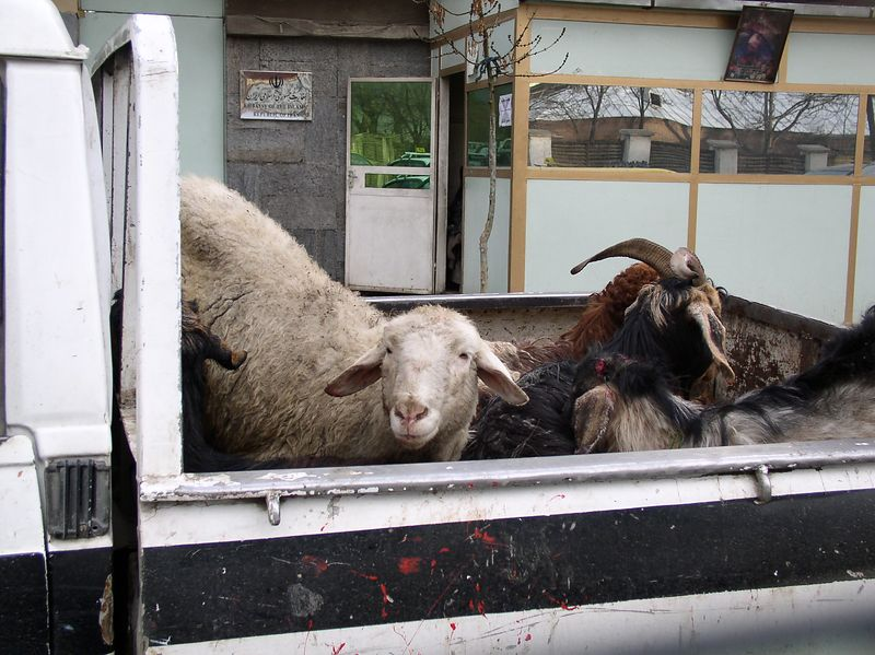 "Sheep in the back of a pick-up for Saturday night ""kebobs"". They were perfectly content in the traffic, butts in the air."