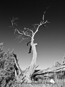 """Tall Ashen Tree"" - Frijole Ranch/Manzanita Spring-Guadalupe Mountains National Park, Texas"