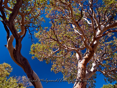 Texas Madrone at the Smith Springs hiking trail - Guadalupe Mountains National Park, Texas