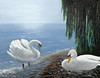 "SWAN MATES<br /> <br /> Lake Geneva, Switzerland<br /> 28""x 24""<br /> oil on canvas<br /> 2001"