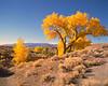 desert golden maple tree