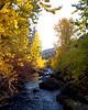 golden maple trees hug creek