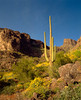 lone cactus at dawn