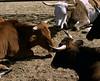 Bulls Resting
