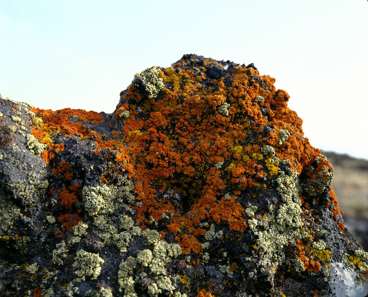 Rust Moss