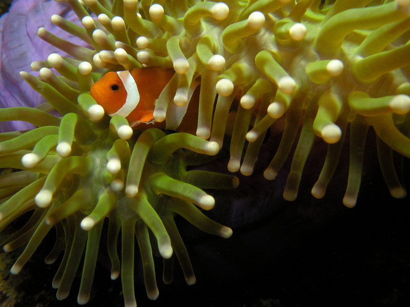 False Percula Clownfish. Kapalai, Malaysia. (If you think this is wrongly identified please let me know.)