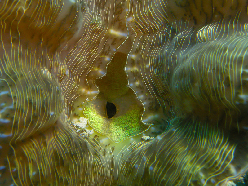 A sexual looking clam mantle. Mabul Island, Malaysia.