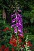IMG_2773 Foxglove with Alstromerria - Copy