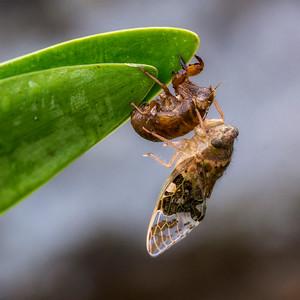 Cicada (???) Shedding Exoskeleton