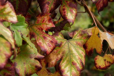 Grape Leaves 1