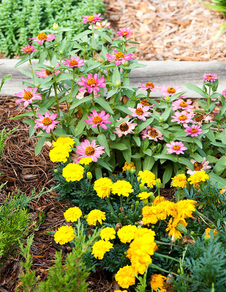 Zinnias and yellow marigolds