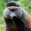 Portrait of golden monkey