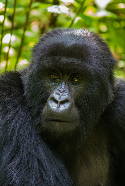 Portrait of mountain gorilla