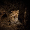 Leopard resting in the shade in the bush a night
