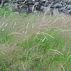 Tall grass blowing in the wind...