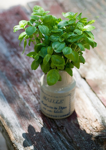 fresh basil in a vase