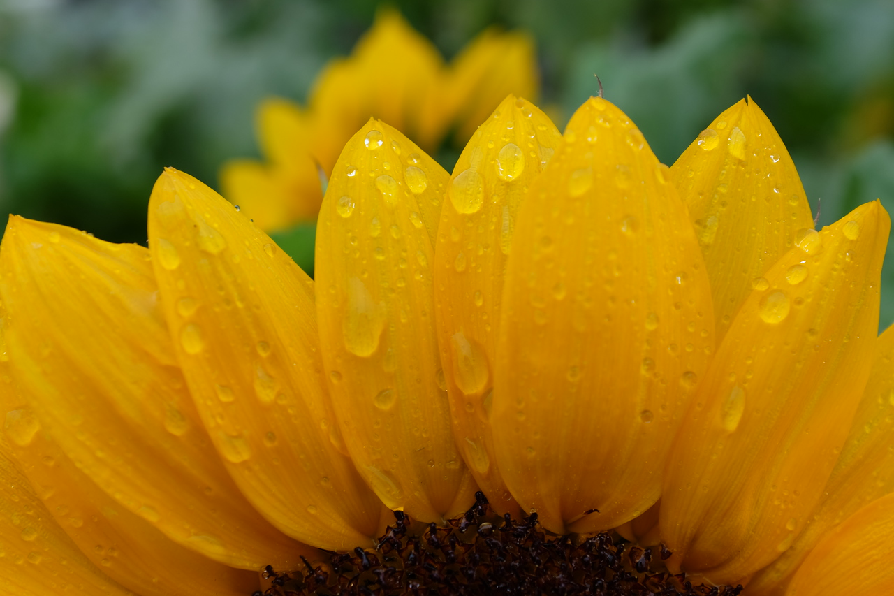 Sunflower tears