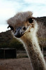 """OSTRICH PORTRAIT<br /> Paso Lajitas, Mexico<br /> <br /> """"How about you, amigo? You got anything to eat?"""" Few pictures have more humor appeal than an up-front in-your-face ostrich shot. There's just something about that face in yours."""