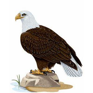 """From percevia.com - <a href=""""http://www.percevia.com/explorer/db/birds_of_north_america_western/obj/25/target.aspx"""">http://www.percevia.com/explorer/db/birds_of_north_america_western/obj/25/target.aspx</a>"""
