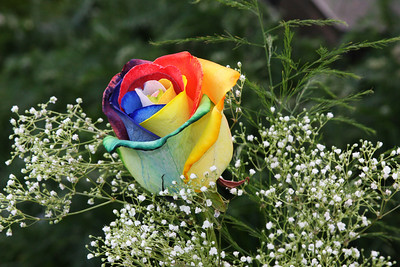 multicolored rose