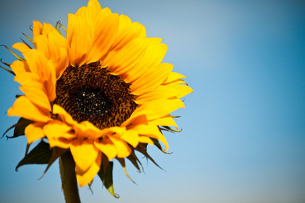 A Sunflower looks to the sky