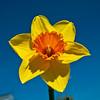 Grandad's Best Daffodil