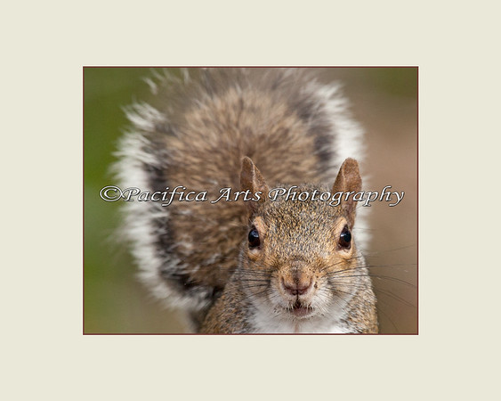 Just Checkin' in!  (Grey Squirrel)