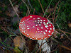 Fly Agaric (Amanita Muscaria). Copyright 2009 Peter Drury